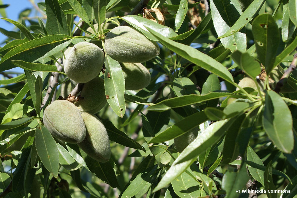 Mandel (Prunus dulcis), Obstbäume