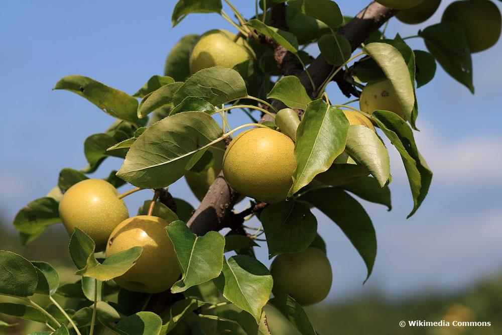 Nashi-Birne/Asiatische Apfelbirne (Pyrus pyrifolia), Obstbäume