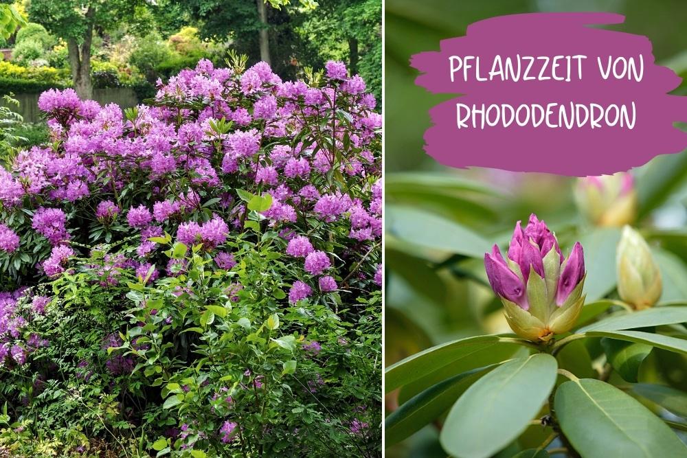 Rhododendron Pflanzzeit