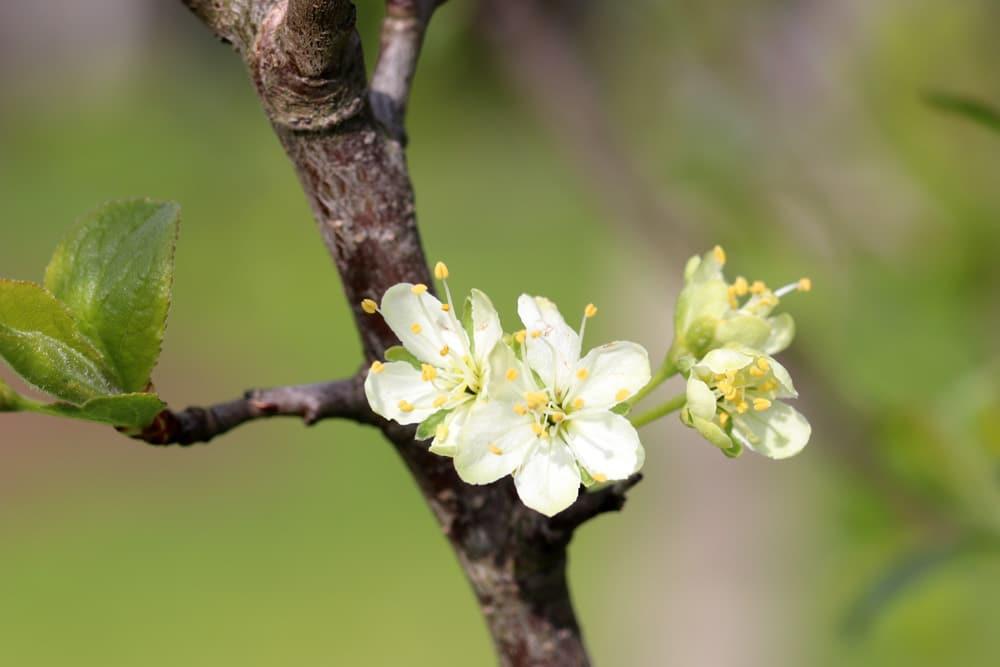 Pflaume und Zwetschge (Prunus domestica), Obstbäume