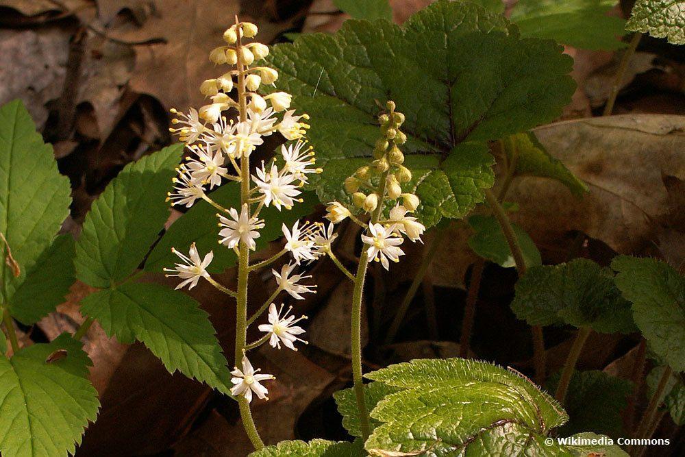 Schaumblüte (Tiarella cordifolia), Bodendecker