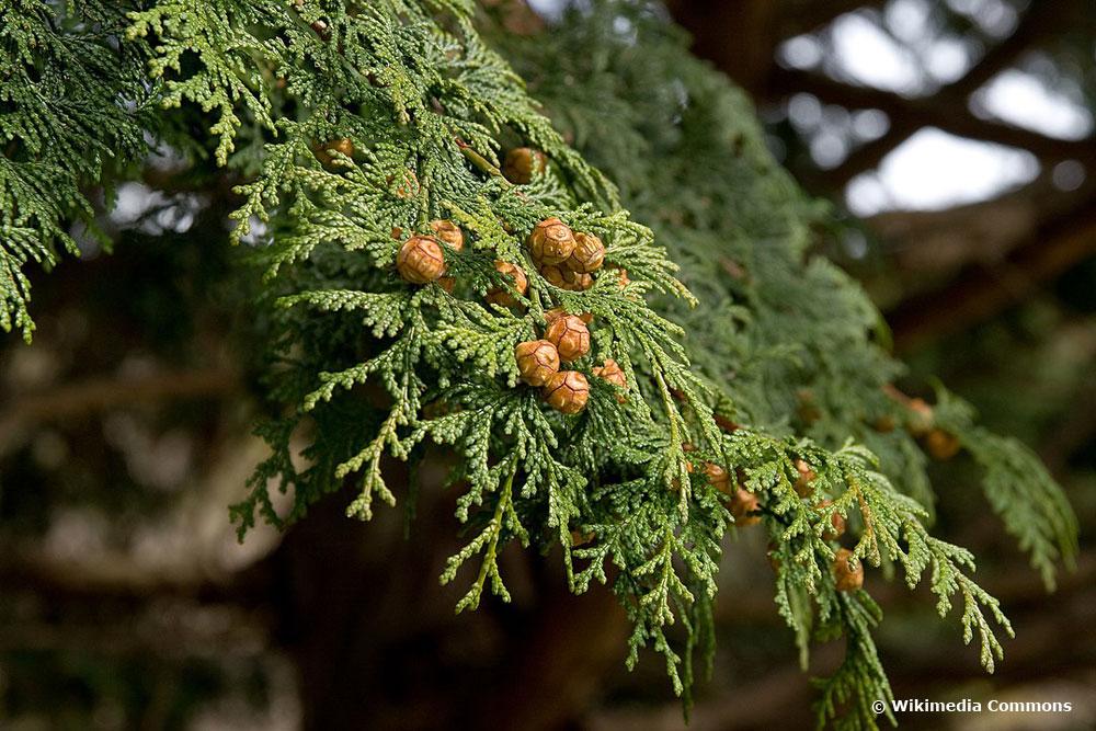 Scheinzypresse – Chamaecyparis, immergrüne Schattenpflanze
