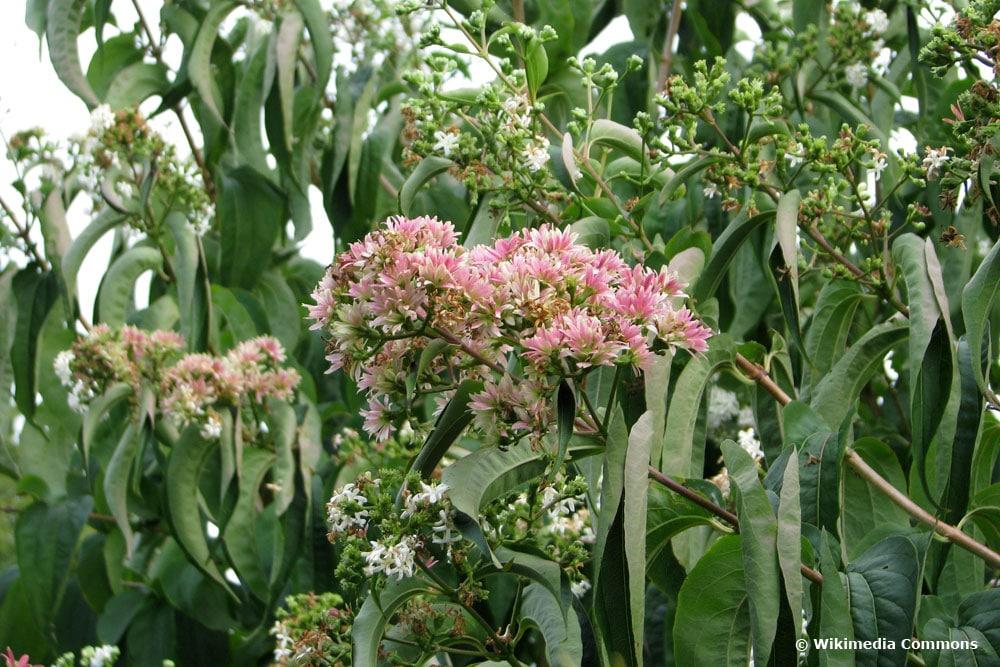 Sieben-Söhne-des-Himmels-Strauch (Heptacodium miconioides)