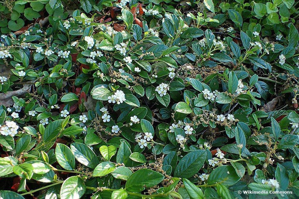 Teppichmispel (Cotoneaster dammeri radicans), Bodendecker