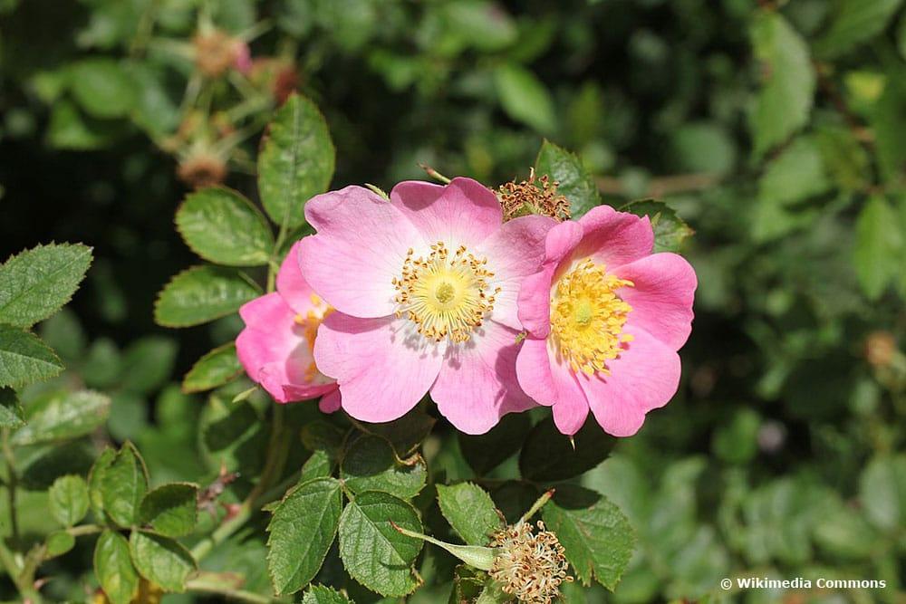 Wein-Rose (Rosa rubiginosa), Sträucher Blüten