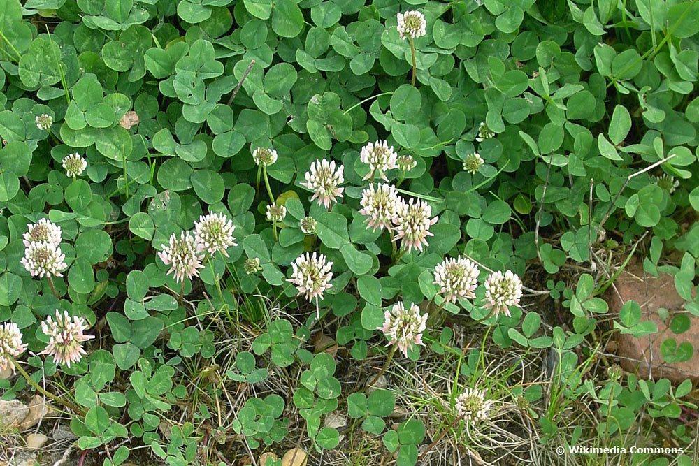 Weißklee, Trifolium repens