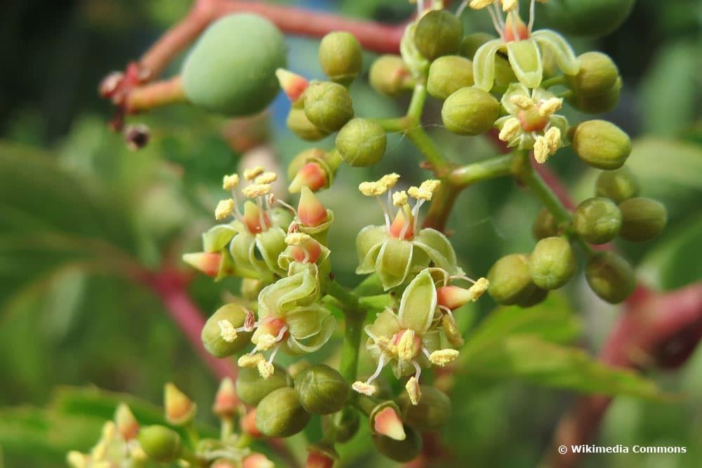 Wilder Wein (Parthenocissus quinquefolia)
