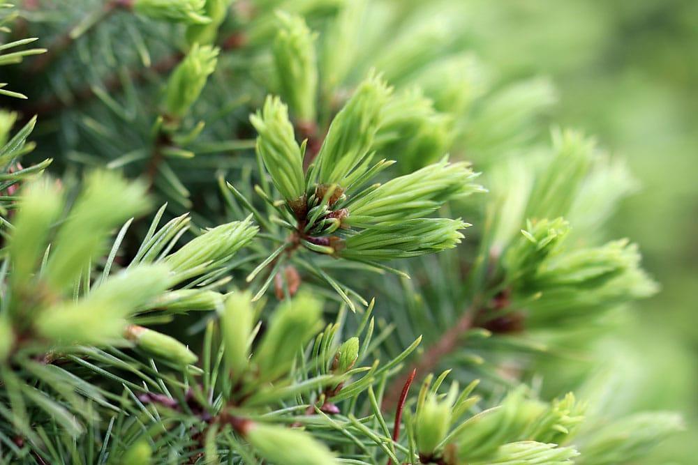 Zwerghut-Fichte – Picea glauca