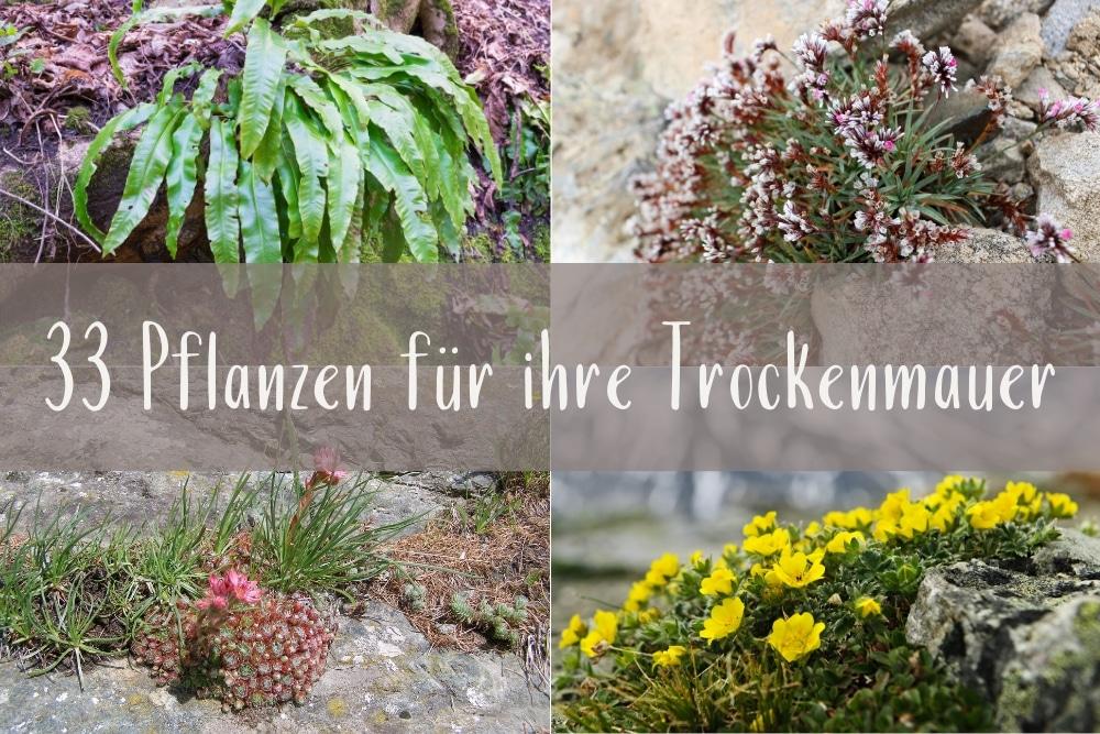 Pflanzen für Trockenmauern - Titel