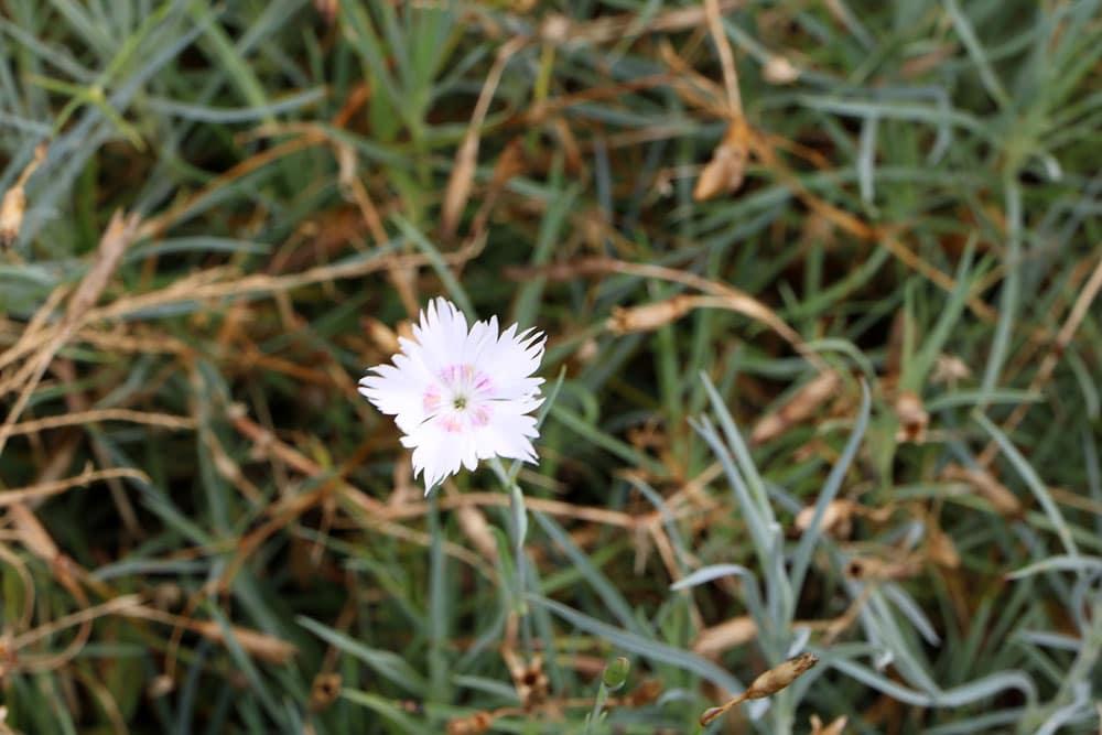 Federnelke (Dianthus plumarius)