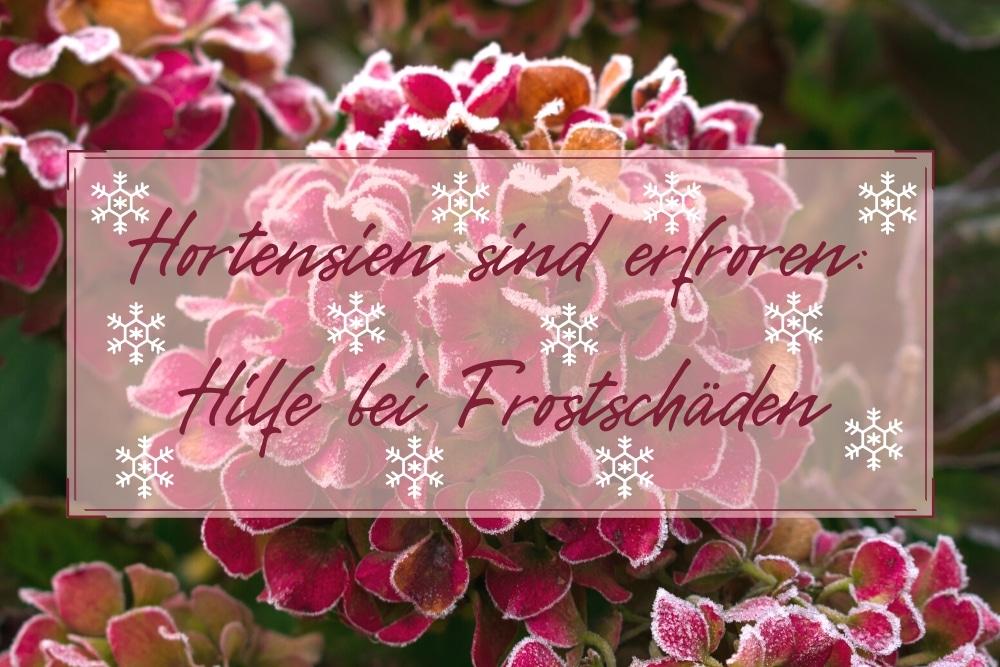Hortensien erfroren - Titel