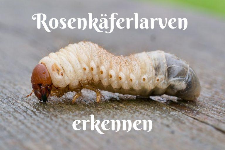 Rosenkäferlarven - Titel