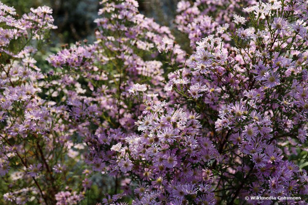 Steinaster (aster ericoides)