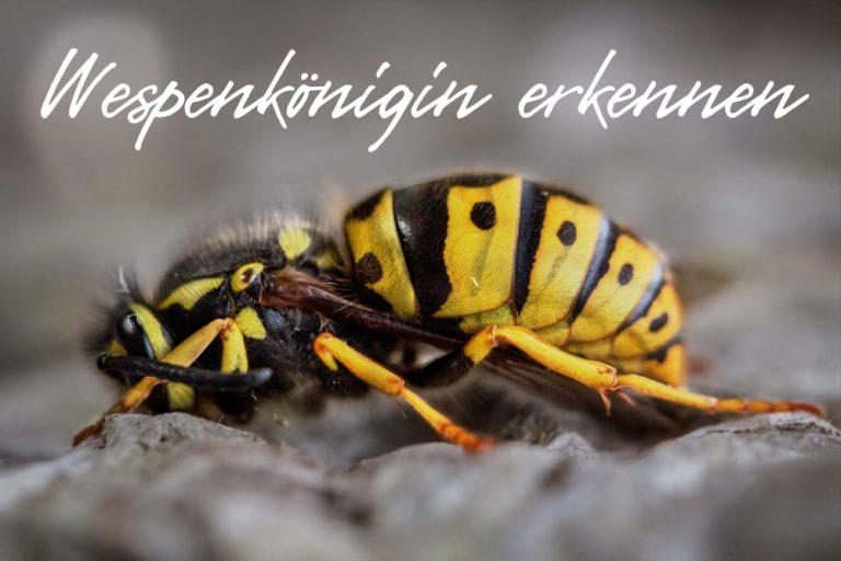 Wespenkönigin - Titel
