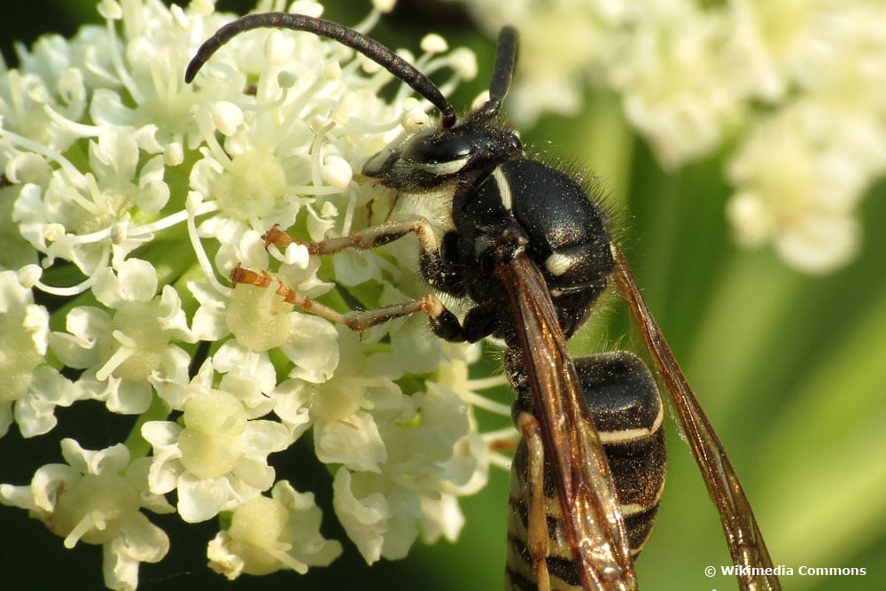 Falsche Kuckuckswespe (Dolichovespula adulterina)