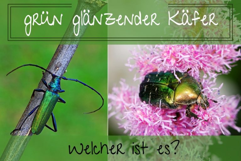 glänzender Käfer - Titel