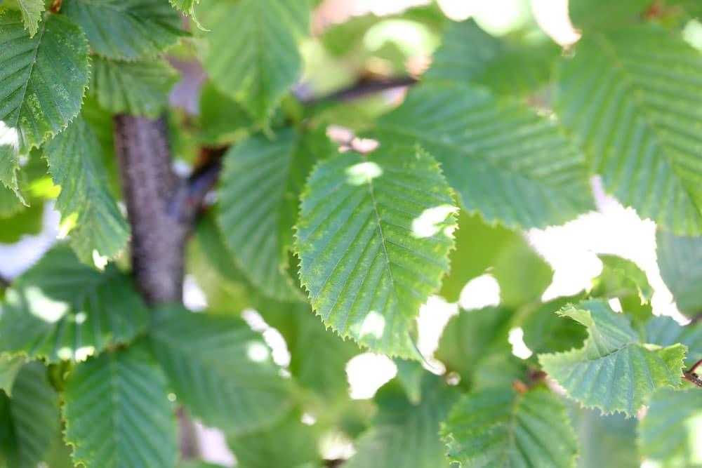Hainbuche (Carpinus betelus)