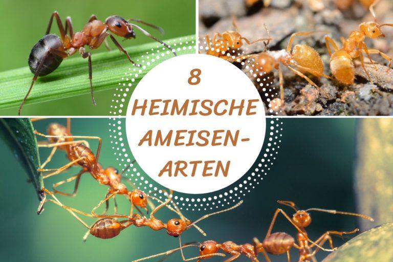 heimische Ameisenarten