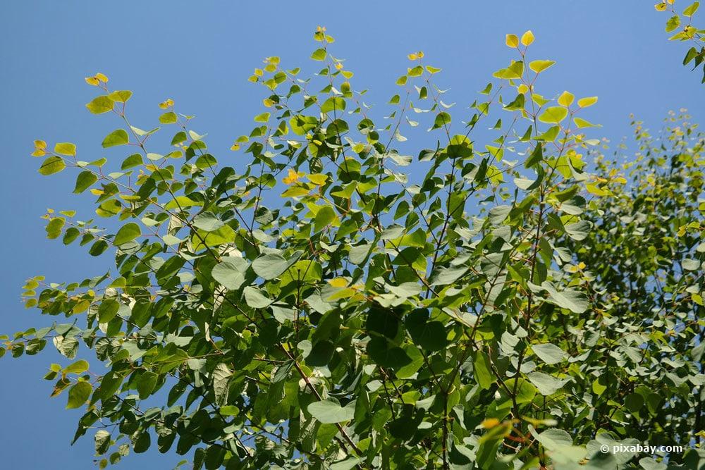 japanischer Kuchenbaum