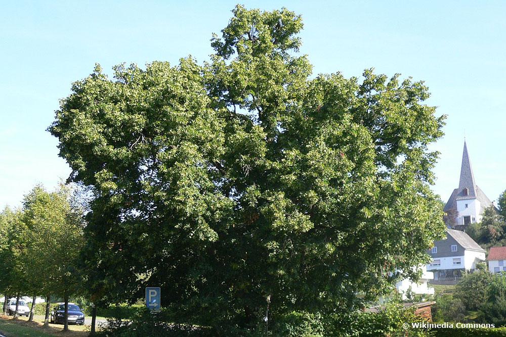 Kaiserlinde (Tilia × europaea var. pallida)