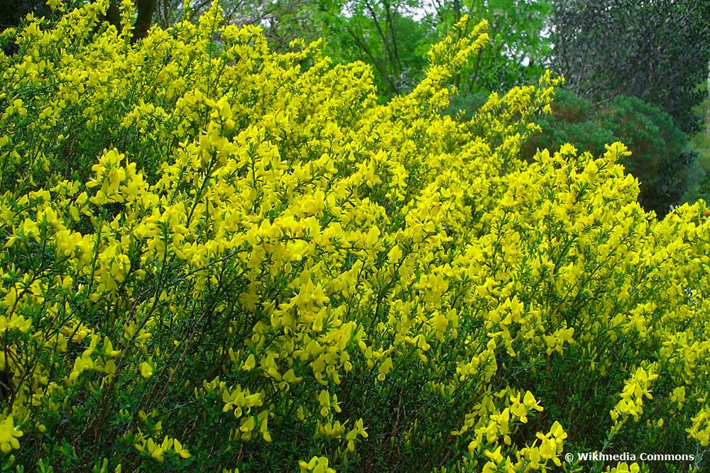 die gelben Blüten des Kissenginster ziehen Bienen an