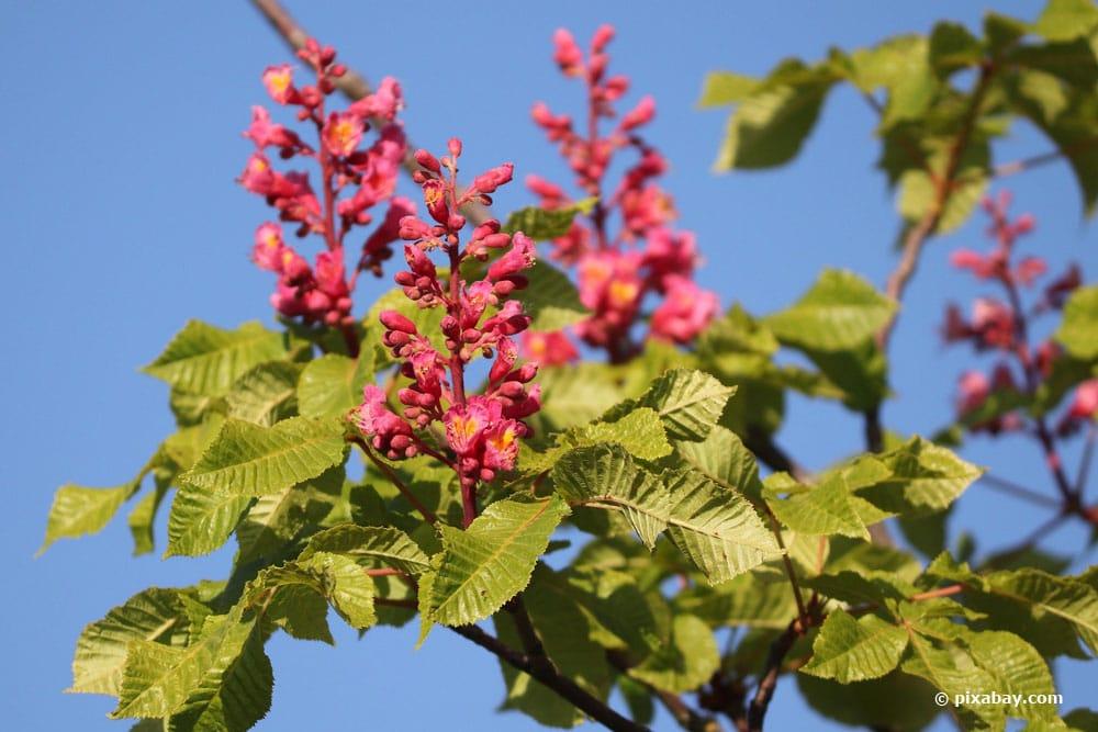Rotblühenden Rosskastanie (Aesculus x carnea)