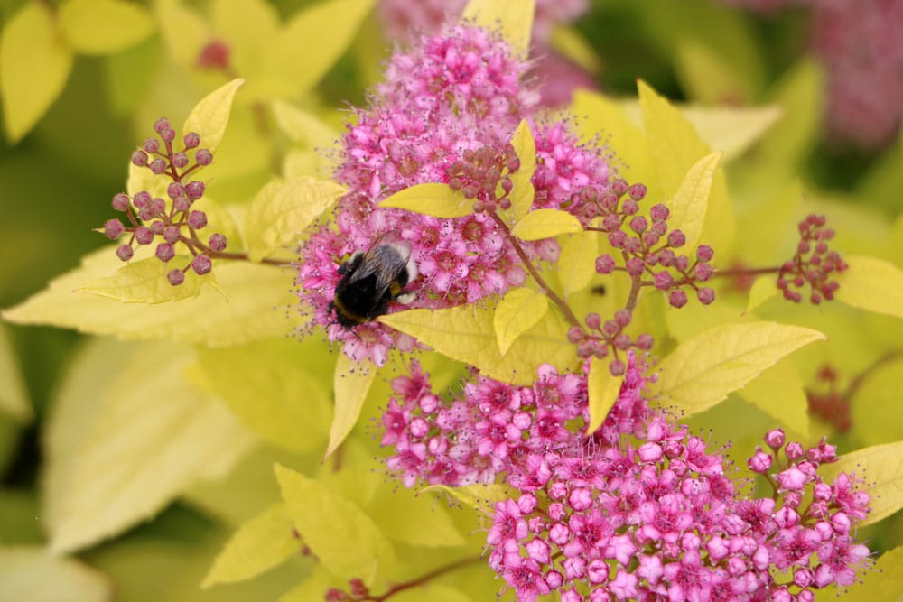 Rote Sommerspiere sind bienenfreundliche Bodendecker