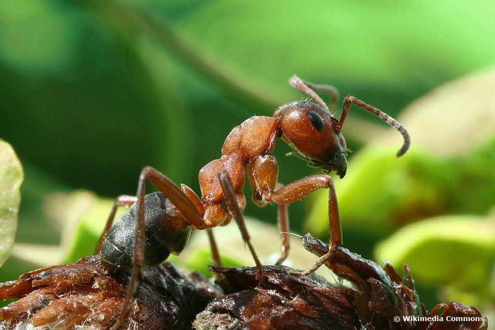 Rote Waldameise (Formica rufa), Ameisenarten