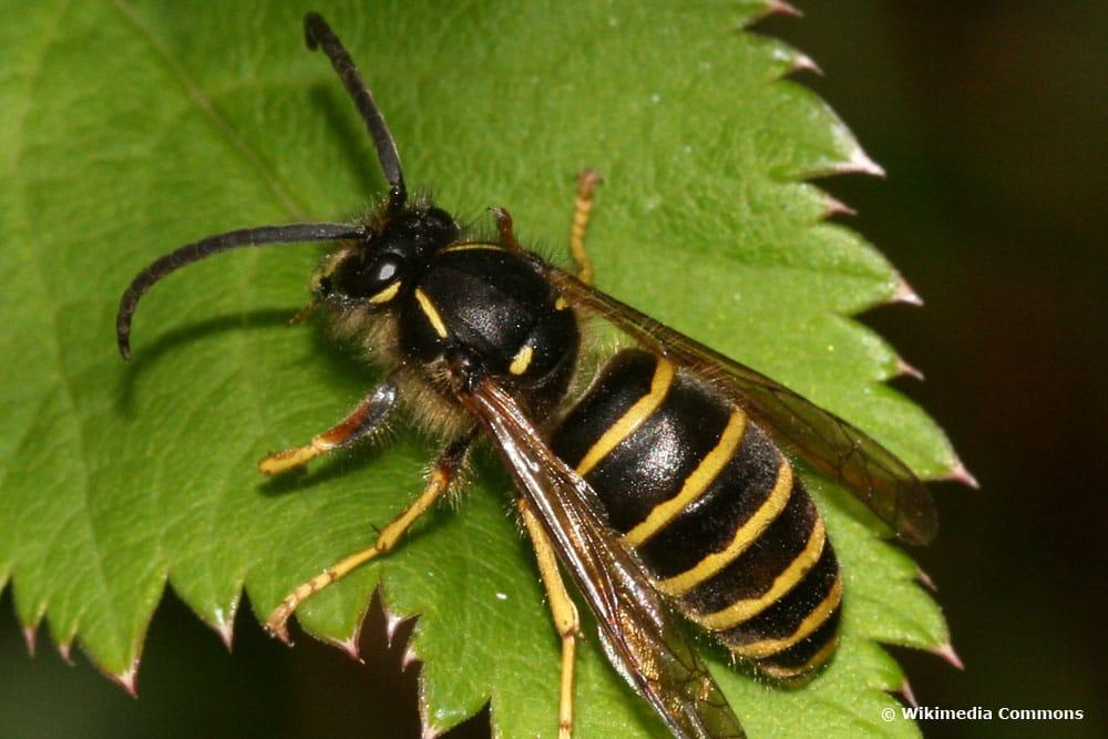 Sächsische Wespe (Dolichovespula saxonica)
