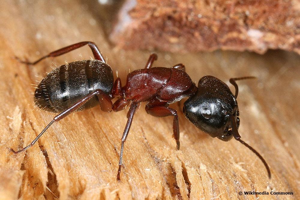 Schwarze Rossameise (Camponotus ligniperda)