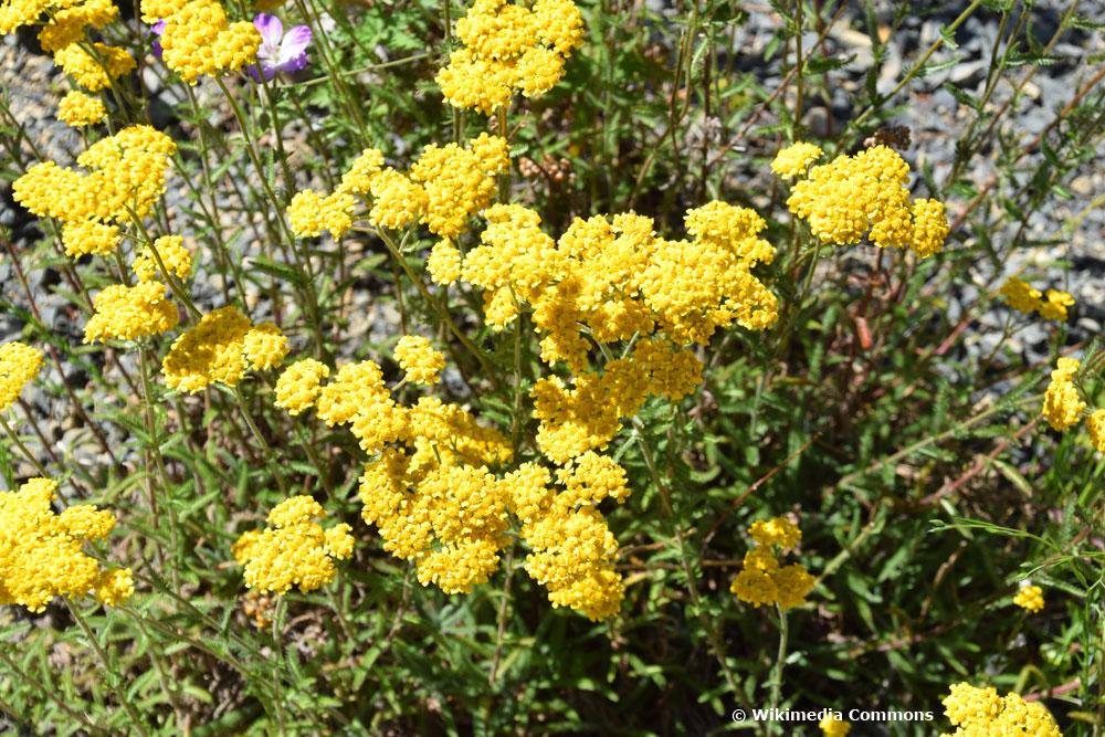 Teppich-Garbe ist mit ihren gelben Blüten besonders bienenfreundlich