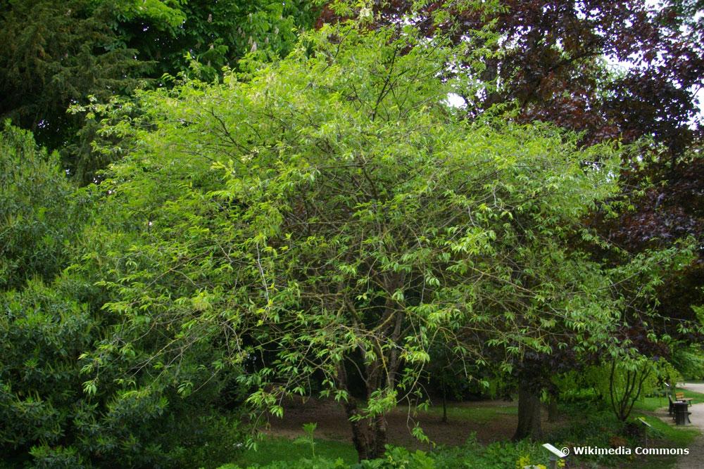 Tibetkirsche (Prunus serrula)
