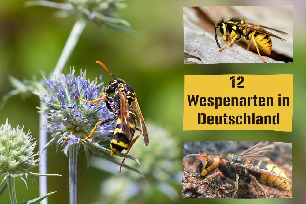 Wespenarten in Deutschland