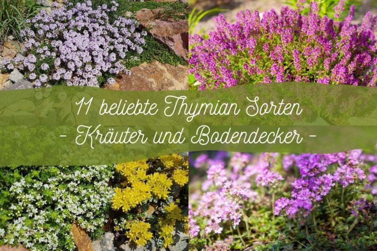 Thymian-Sorten