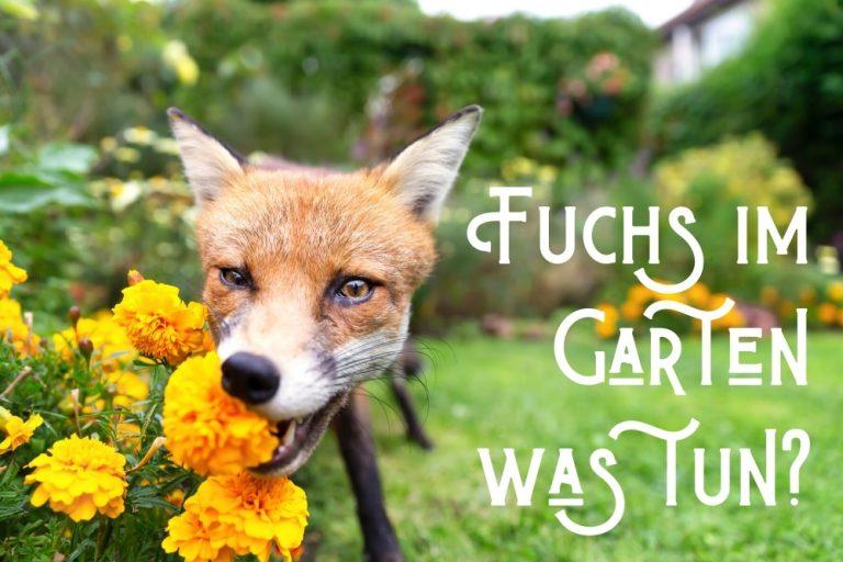 Fuchs im Garten - Titel