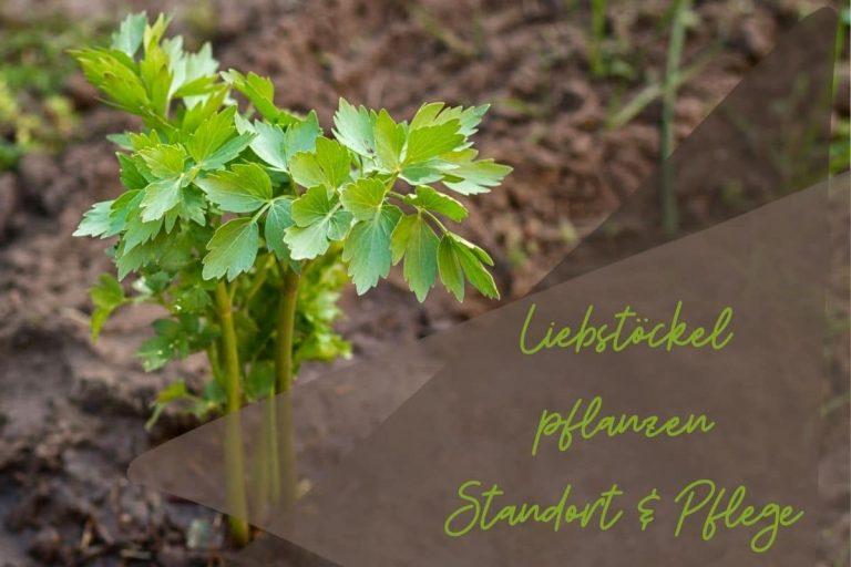 Liebstöckel pflanzen - Titel
