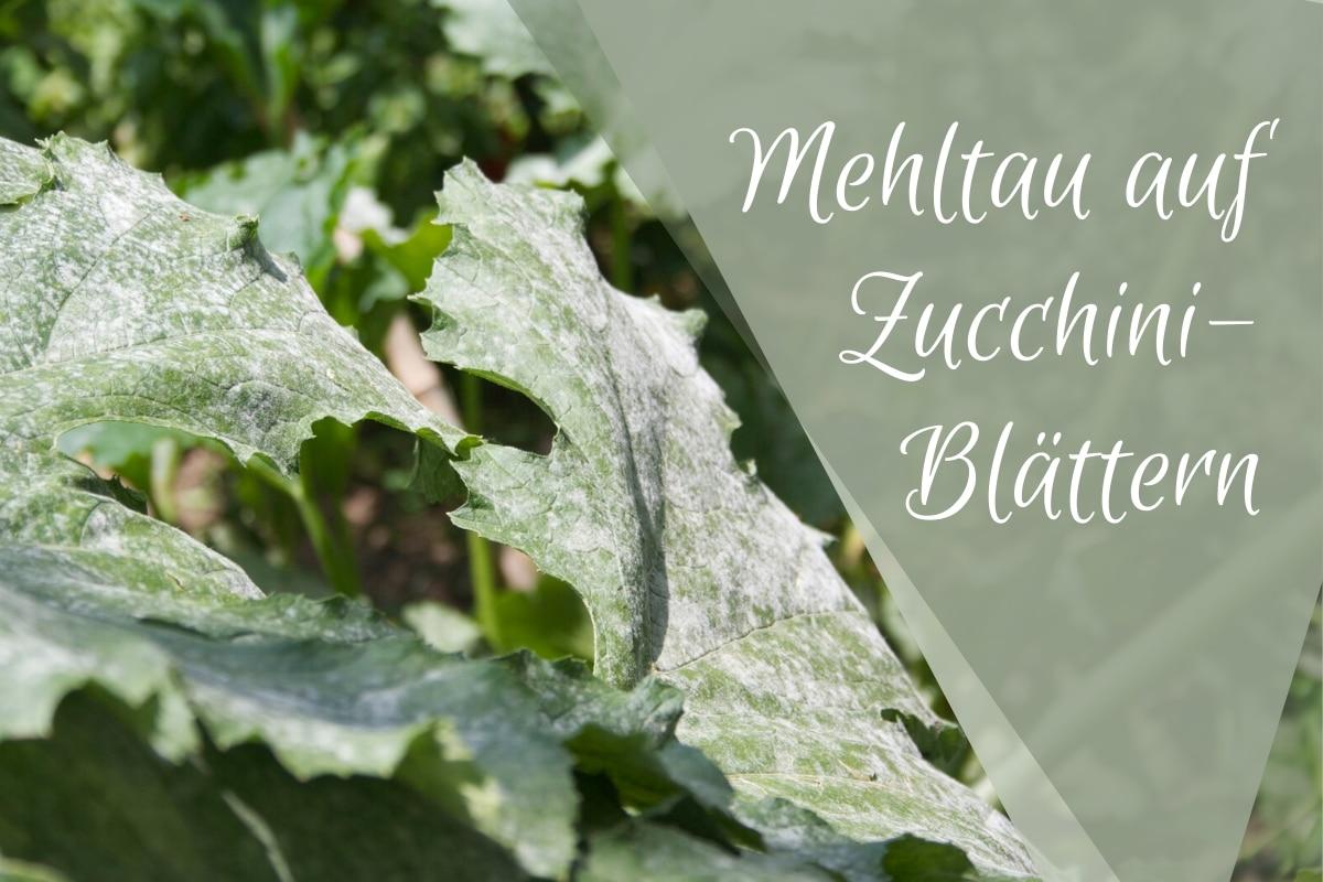 Mehltau auf Zucchini-Blättern -Titel