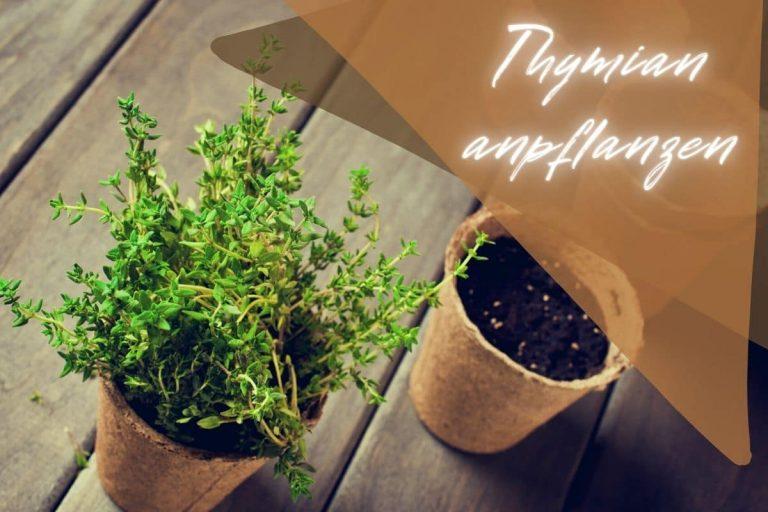 Thymian anpflanzen - Titel