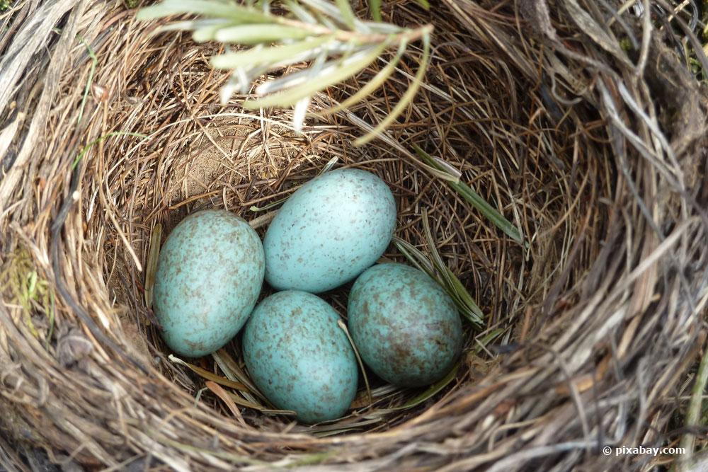 Amsel-Eier