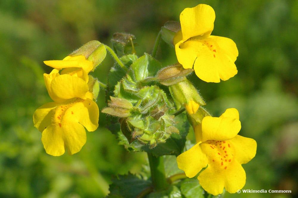Gelbe Gauklerblume (Mimilus guttatus)