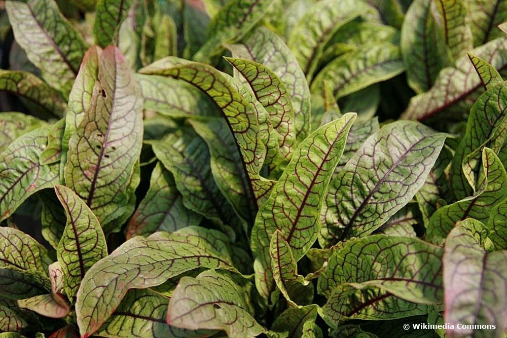 Hainampfer (Rumex sanguineus) eignet sich auch für die Pflanzung im Miniteich