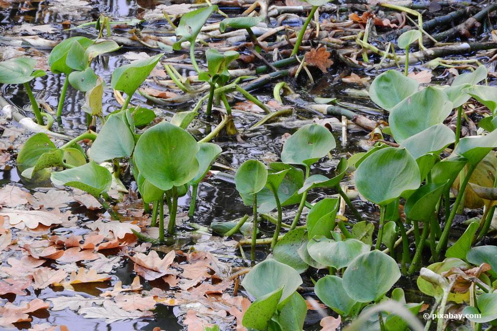 Sumpfcalla (calla palustris) eignet sich für einen Miniteich