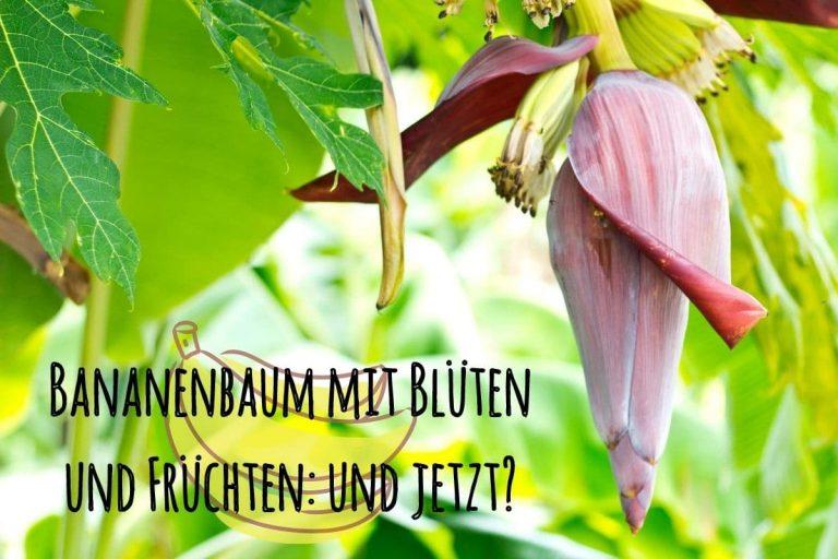 Bananenbaum blüht - Titel