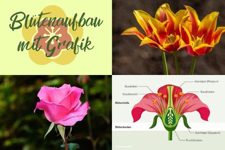 Blütenaufbau - Titel