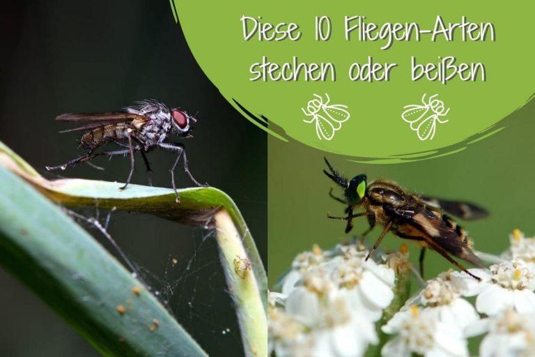 Fliegen stechen/beißen - Titel