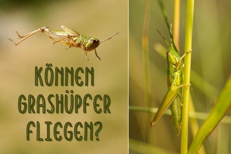 Können Grashüpfer fliegen? - Titel