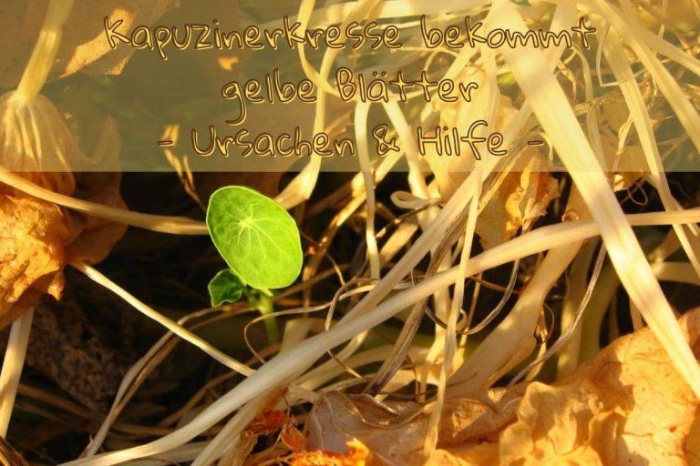 Kapuziner gelbe Blätter - Titel