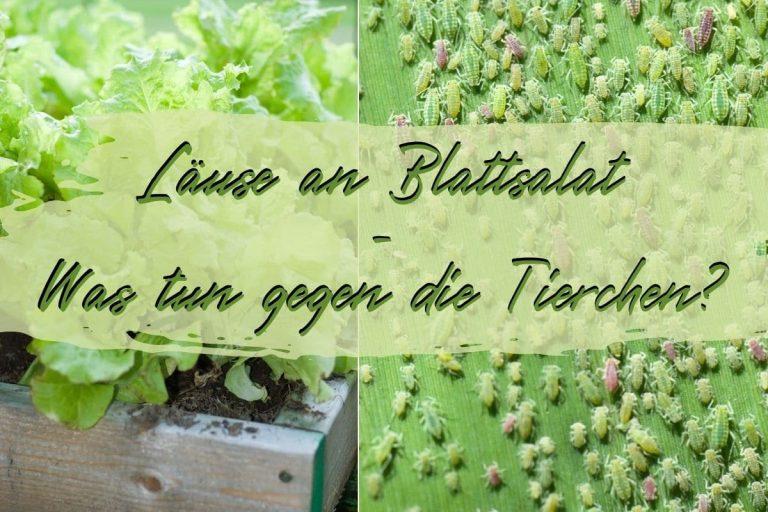 Läuse an Blattsalat - Titel