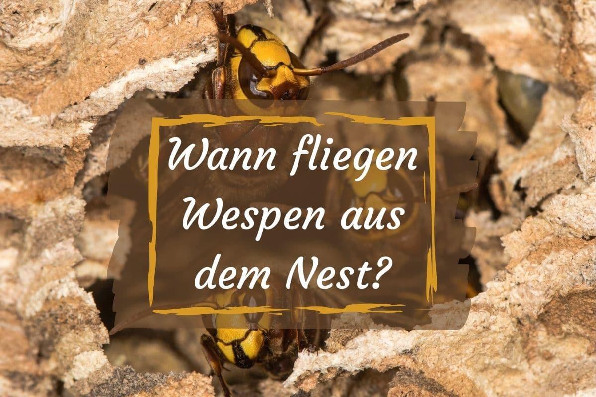 Wann Fliegen Wespen Aus Dem Nest
