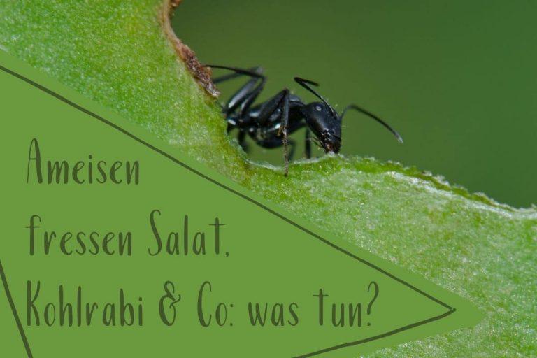 Ameisen fressen Salat - Titel